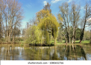 Weeping Willow tree by a lake in an English garden in Spring