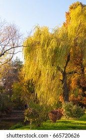 A weeping willow tree near a lake and its branches touched by nice worm sun rays. Raw green grass in the foreground.