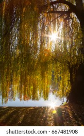 A weeping willow tree near a lake and its branches filtering nice worm sun rays. Sun reflected in the water.