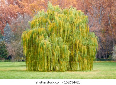 Weeping willow tree on Park in Autumn, Landscape.