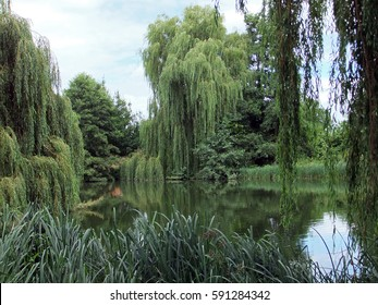 Weeping Willow Trees around a Pond