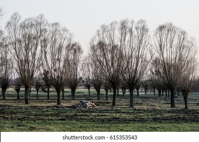 Weeping willow trees on a field with a sunset lights