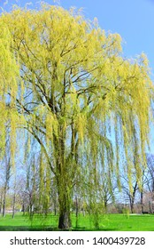 Weeping Willow trees in spring with early yellowish color foilage on the drooping branches.
