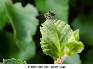 weevil attacked by ant