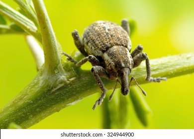 Weevil Beetle close up: larger than life size on sensor