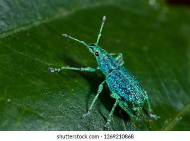 Weevil (Compsus sp.) on leaf in Ecuador showing glowing iridescence of scales on exoskeleton, caused by photonic crystals.