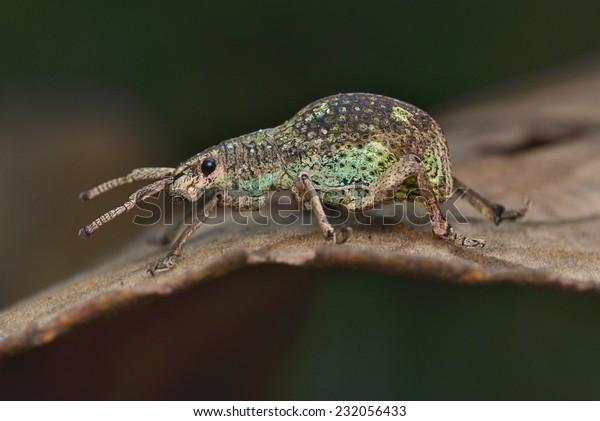 Weevil Crawling