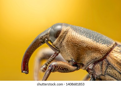 Weevil insect high resolution and magnification extreme macro with orange background from macro photography