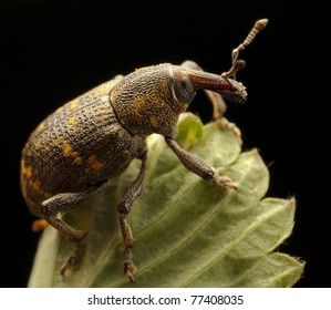 weevil insect on top of a leaf
