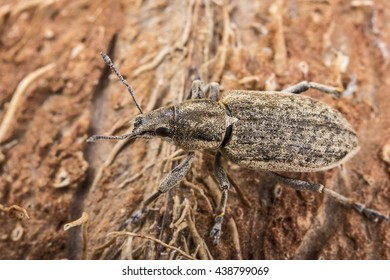 Weevils on the bark