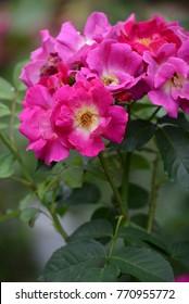Weg der Sinne Rose