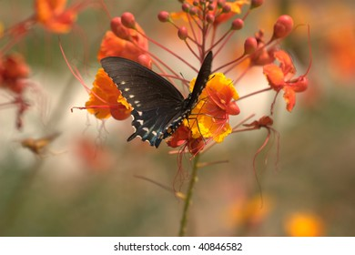Weidemeyer's Admiral Butterfly (Limenitis weidemeyerii), sitting on vividly colored yellow, orange, and red colored flowers.