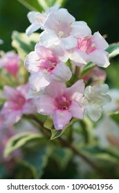 weigela with blossom