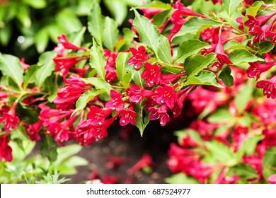 Weigela Bristol Rubyin bloom. Perennial ornamental shrub.