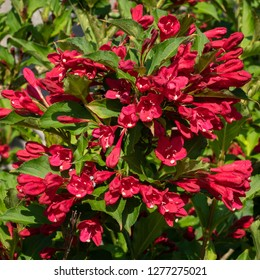 Weigela (Weigela florida), close up of the flower head