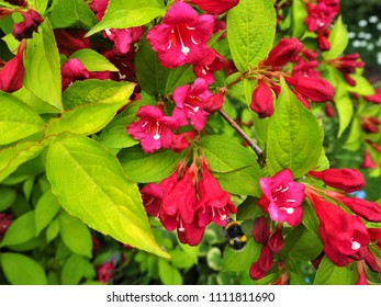 Weigela rubidor bush with colourful pink flowers and green leaves, and a visiting bee