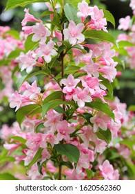 Weigela shrubs blooming pink. A beautiful spring garden.