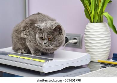 Weighting a british short-hair cat in veterinary clinic