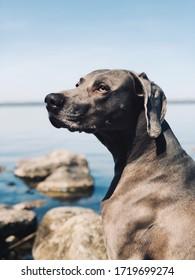 Portrait de chien de Weimaran sur fond marin