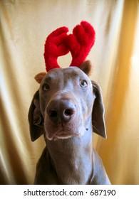 Weimaraner Christmas Antlers