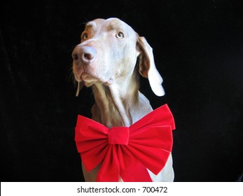 Weimaraner Dog Christmas Holiday red bow