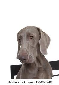 weimaraner dog  close up portrait, weimaraner