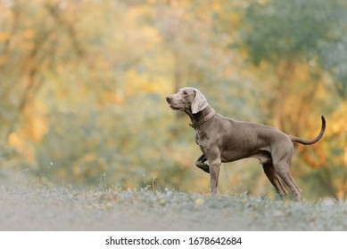 weimaraner dog in a collar pointing outdoors in autumn