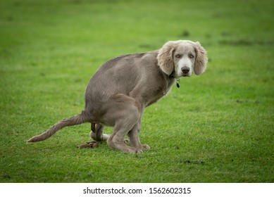 Weimaraner dog does poo at park