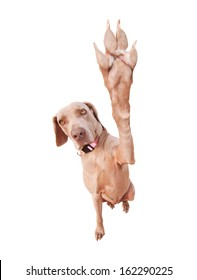 Weimaraner dog doing a high five with her paw, focus on eyes, isolated on white