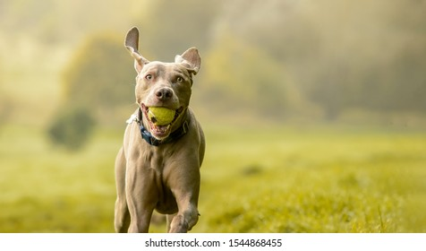 Weimaraner dog in grass meadow