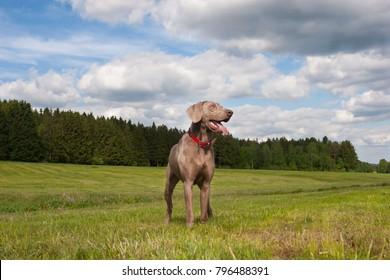 weimaraner dog gun dog summer