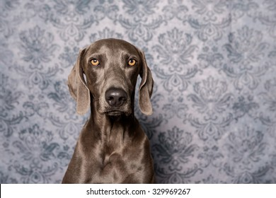Weimaraner Dog headshot instudio