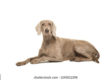 Weimaraner dog lying down looking at the camera seen from the side isolated on a white background