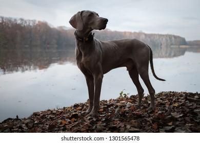 Weimaraner Dog in Nature