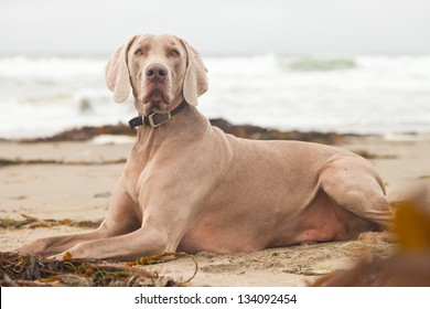 Weimaraner dog on the beach with kelp. San Simeon. USA. California.