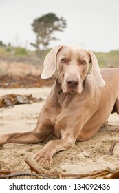 Weimaraner dog on the beach. San Simeon. USA. California.