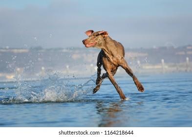 Weimaraner dog outdoor portrait at beach jumping sideways through water