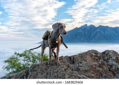 Weimaraner dog puppy pup nature