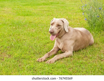 Weimaraner dog resting on green spring grass looking at the viewer