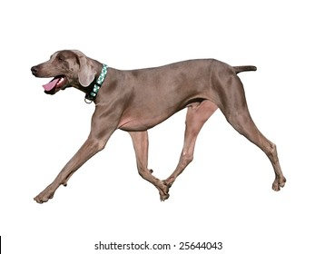 weimaraner dog running isolated on white background