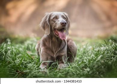 Weimaraner dog and spring