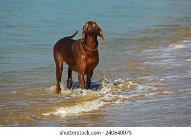 Weimaraner dog in water