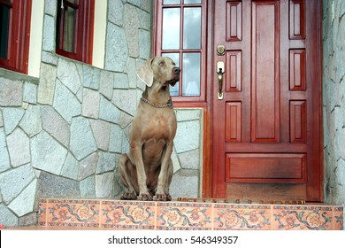 Weimaraner male dog sitting in front of a house door in guarding attitude