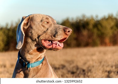 Weimaraner on hunting. Loyal friend. Dog's eyes. Hunting dog.