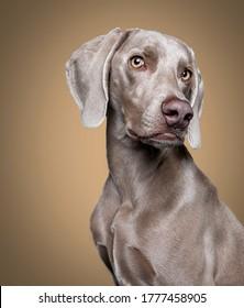 Weimaraner Posing and Model Dog