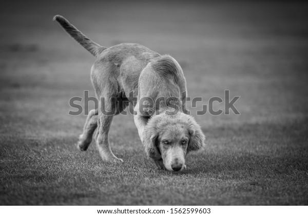 Weimaraner pup sniffing grass black and white