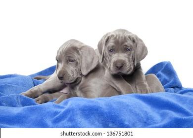 weimaraner puppies on blue blanket, weimaraner puppies
