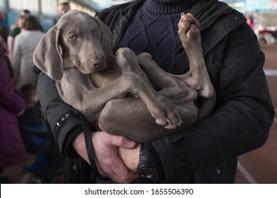 Weimaraner puppy dog in the arms of his master. Paw pads on weimaraner dog