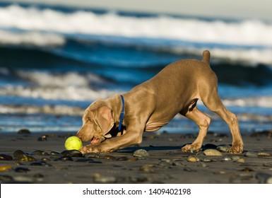 Weimaraner puppy dog playing on ocean beach with ball