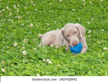 Weimaraner puppy holding a blue ball in his mouth while lying in grass